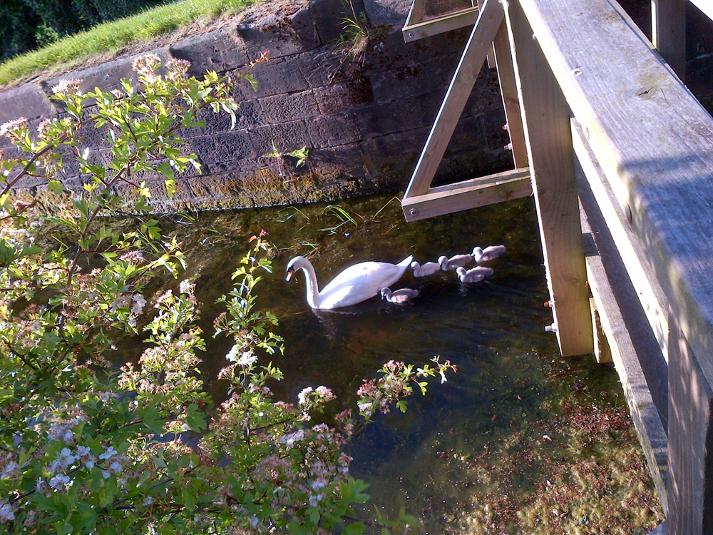 Photo of swan with cygnets on the Nottingham Canal, Cossall